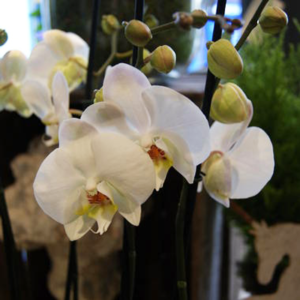 SIMPLY-ORCHIDS-BIG